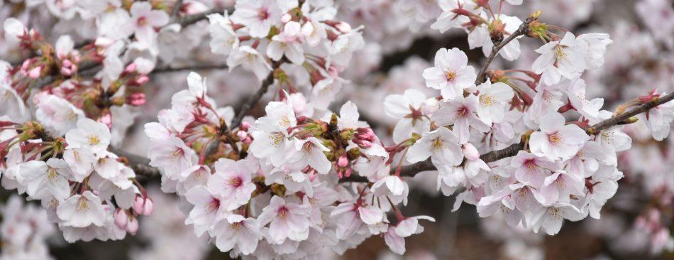 Sakura Sakura (Jour 1)